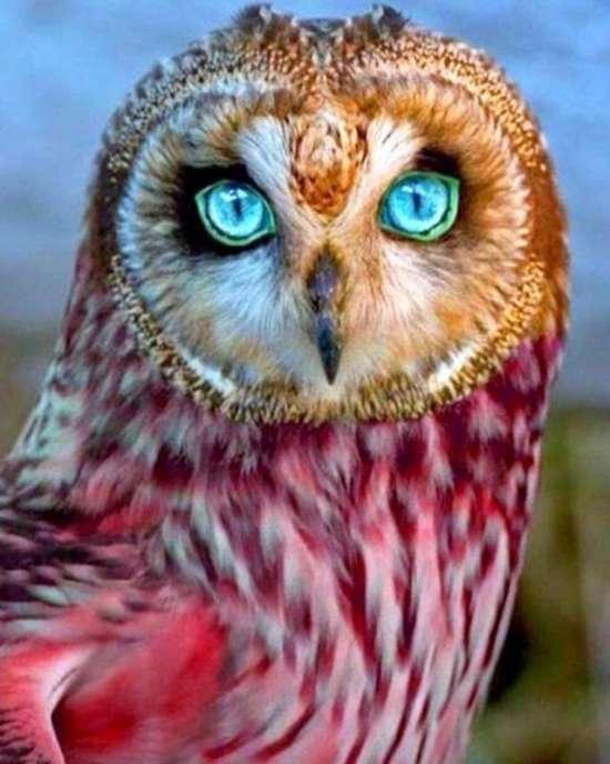 Картина по номерам 40x50 Сова с яркими голубыми глазами